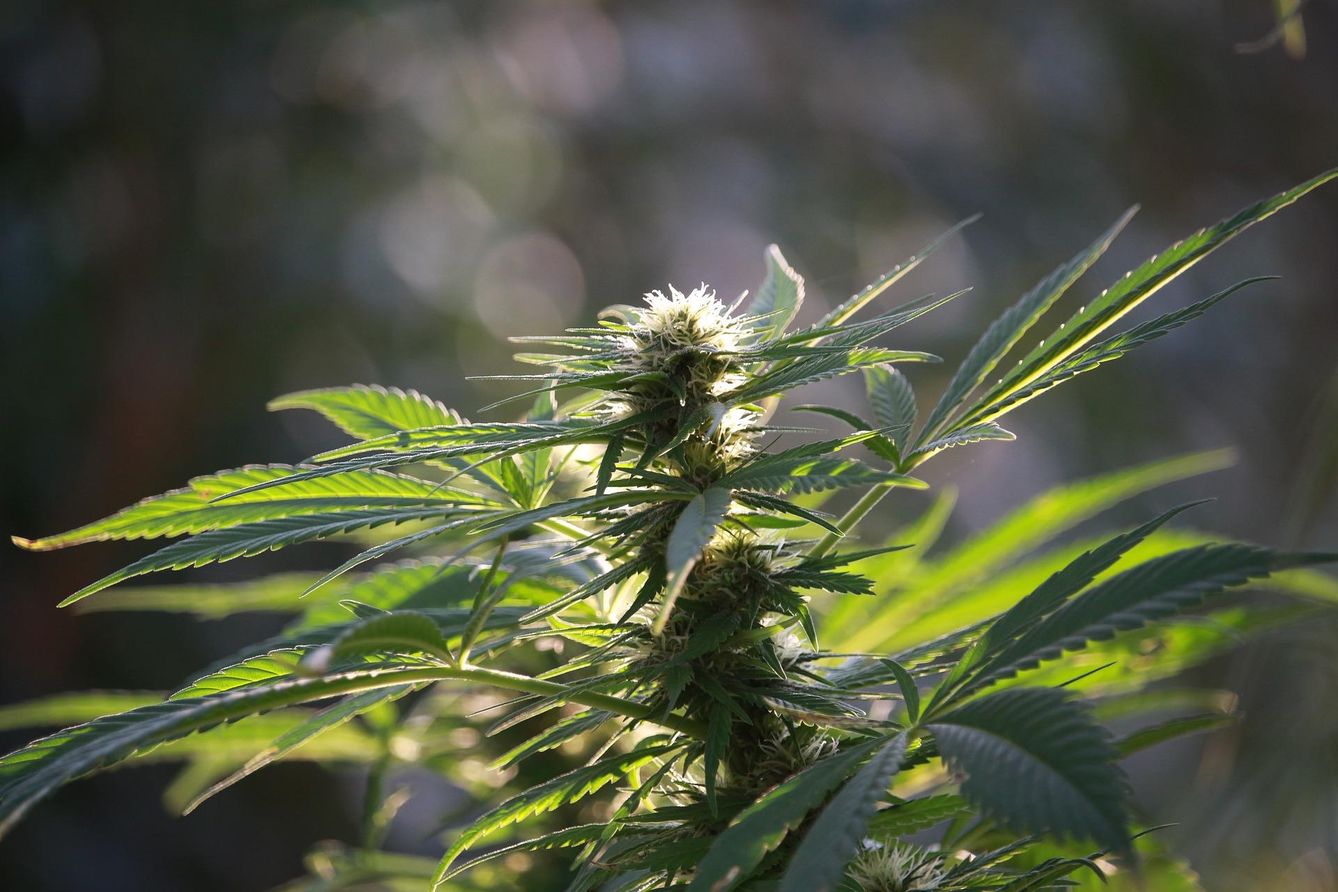 marijuana-legale-cose-cambiato-con-la-nuova-legge
